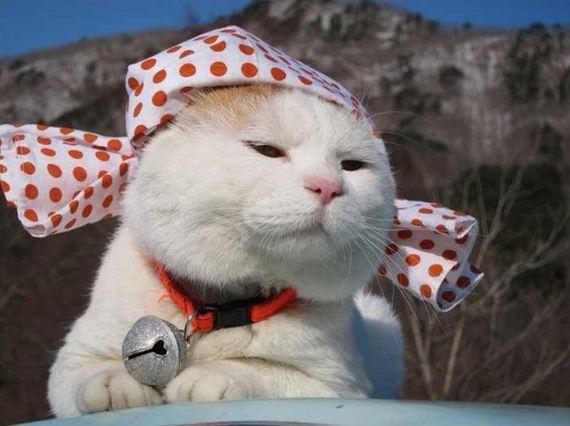 گربه سفید ملوس