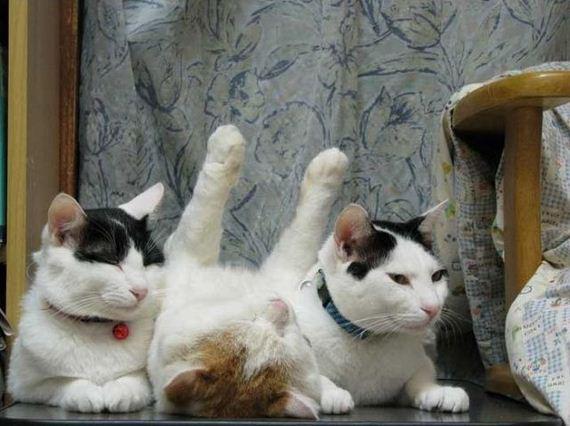 گربه ناز سفید