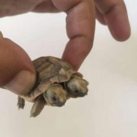 لاکپشت دوسر+عکس/تولد لاک پشت دو سر در یزد